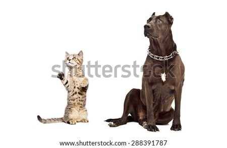 Staffordshire Terrier and frisky kitten Scottish Straight together isolated on white background - stock photo