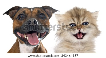stafforshire bull terrierand persian kitten in front of white background - stock photo