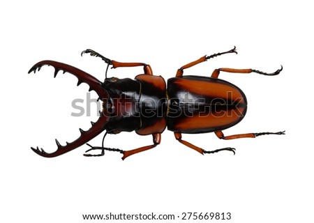 Stag beetle isolated on white - stock photo