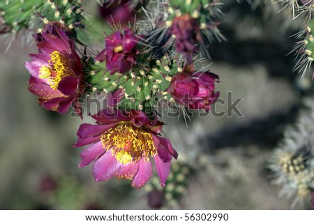 Staghorn Cholla cactus branch (Cylindropuntia versicolor) , with flowers blooming - stock photo