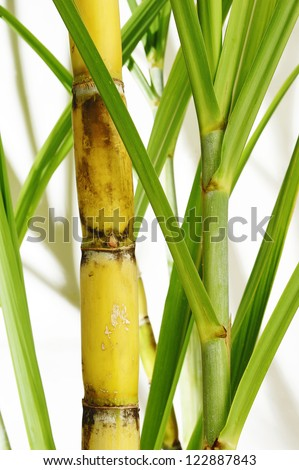 Stalk of sugarcane - stock photo