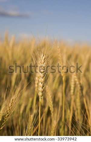 Stalk of wheat in a field with a blue sky in the background - stock photo