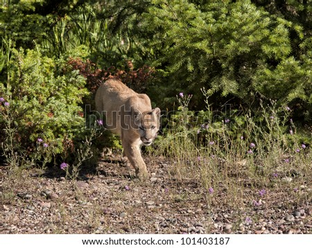 Stalking Mountain Lion - stock photo