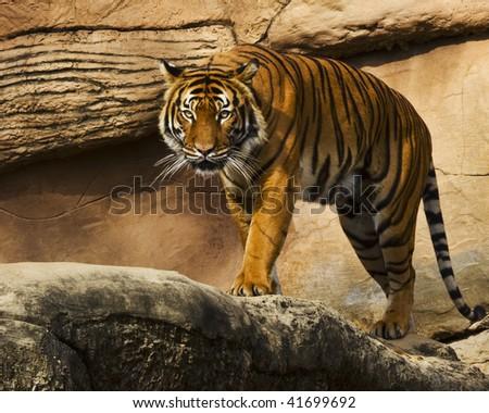 Stalking Tiger - stock photo