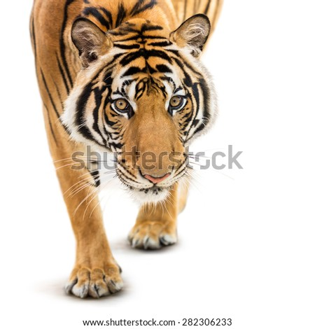 Stalking young siberian tiger isolated on white background - stock photo