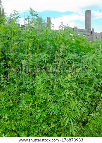 Stalks of cannabis full length by the fence - stock photo
