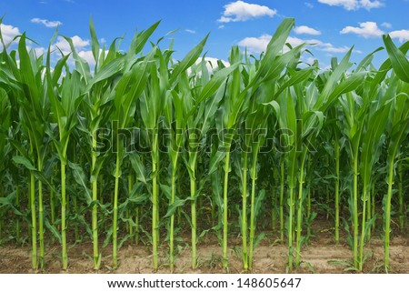Stalks of corn against the background of the blue sky. - stock photo