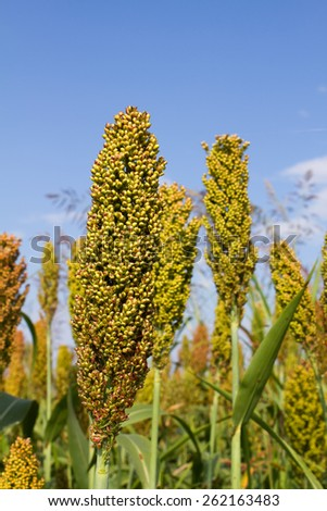Stalks of sorghum grow in a agricultural farming field. - stock photo