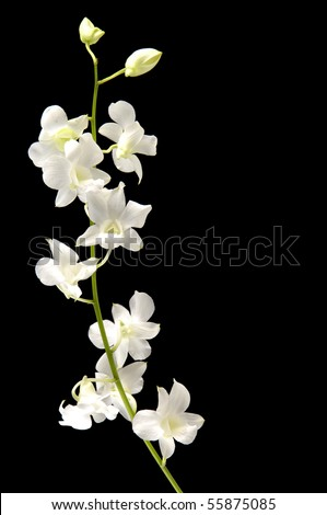 Stalks of white orchid with bud on black - stock photo
