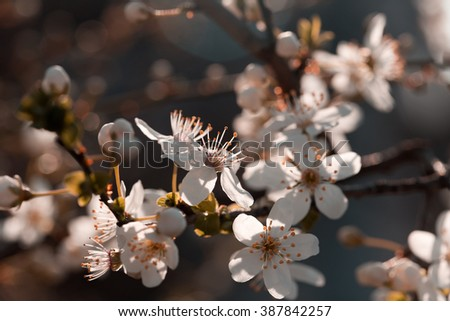 Stamens and pollen on blooming - flowering fruit tree - stock photo