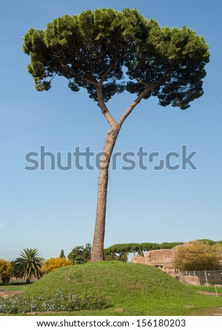 Standalone pine tree in Rome, Italy - stock photo