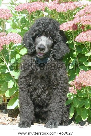 Standard Poodle puppy sitting in flowers - stock photo