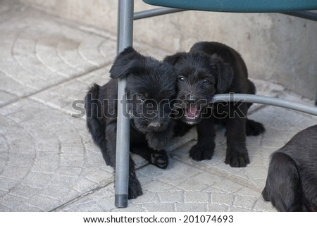 standard schnauzer puppies  - stock photo