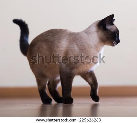 Standing  adult siamese cat on wooden floor indoor - stock photo