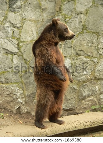 Standing brown bear in the zoo - stock photo