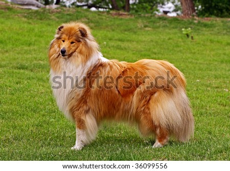 Standing collie dog - stock photo