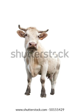 Standing cow isolated on pure white background - stock photo
