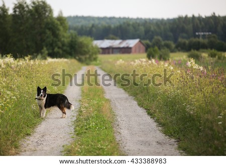 Standing dog on a country road - stock photo