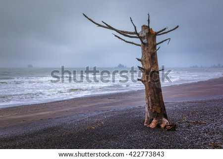 Standing Drift Wood at Rialto Beach, Olympic National Park - stock photo