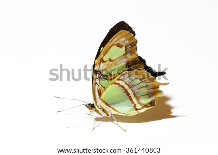 standing Malachite butterfly isolated on white with it's beautiful wings up - stock photo