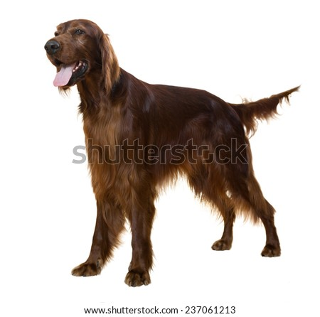 Standing male Irish Setter, isolated on white   - stock photo