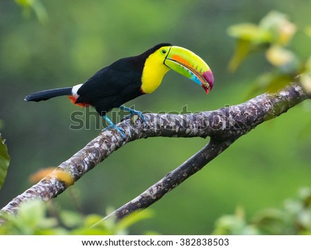 Standing Tall...This beautiful Keel billed Toucan is having a bite to eat.  Taken in the wild in Costa Rica in the jungle rain forest near Arenal Volcano - stock photo