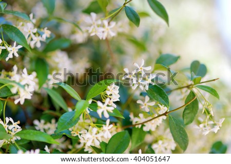Star jasmine flowers on a blooming jasmine bush - stock photo