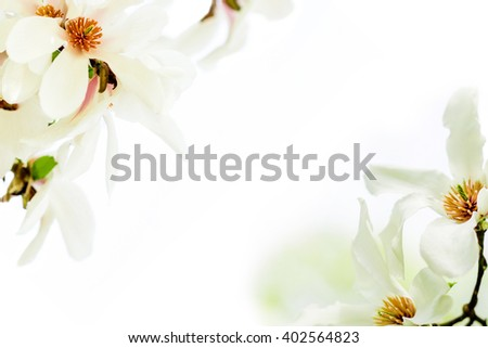 star magnolia wildly blossoming during spring time in Europe on white background - stock photo