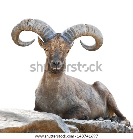 Stare of a mountain goat male. Closeup portrait, isolated on white background. Big rounded horns of wild hoofed animal. - stock photo