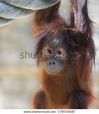 Stare of an orangutan baby, looking into the camera. A little great ape is going to be an alpha male. Human like monkey kid in shaggy red fur. - stock photo