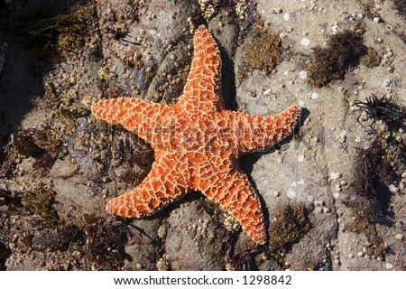 Starfish 1 - stock photo