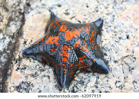 Starfish against rocks in the Japanese sea in the summer red with the black - stock photo