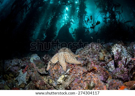 Starfish cling to the rocky seafloor in a diverse kelp forest growing off the coast of Monterey, California. - stock photo