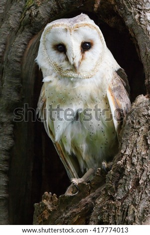 Staring Barn Owl. A beautiful barn owl stares intently at the camera from its perch in a tree trunk. - stock photo