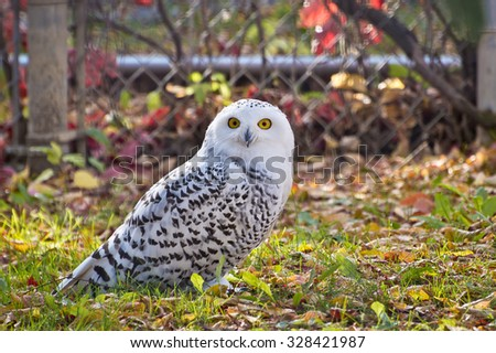 Staring right at the camera, the Snowy Owl is curious but unconcerned with my presence. - stock photo