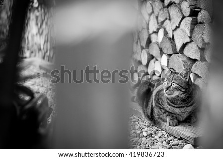 Staring tabby cat in the garden behind the fence, black and white - stock photo