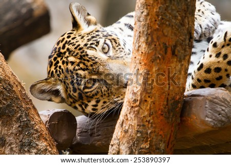 Staring with ferocious leopard in a tree. - stock photo