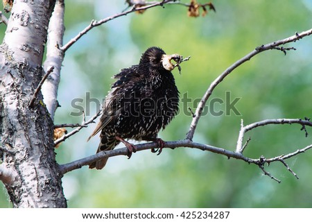 Starling brings food to his birdhouse - stock photo