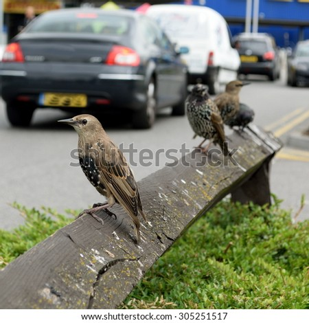 Starling in urban environment - stock photo