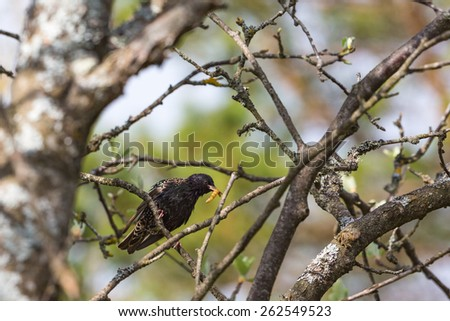 Starling with a caterpillar in its beak - stock photo