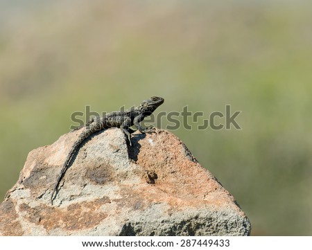 Starred Agama Lizard basking on rock - stock photo