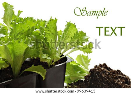 Starter pots with iceberg head lettuce plants on white background with copy space.  Macro with shallow dof. - stock photo