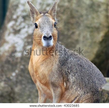 Startled Mara on alert - stock photo
