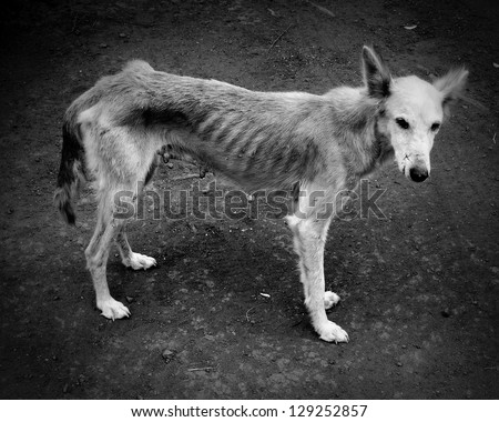 Starving dog on the slope of  The Mombacho Volcano near Granada, Nicaragua.  She has been passed by hundreds of tourists, photographed by few, fed, it appears by next to none - stock photo