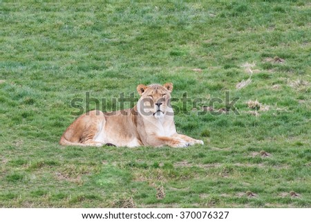 Stately lioness. A magnificent lioness sits peacefully on a grassy bank. - stock photo
