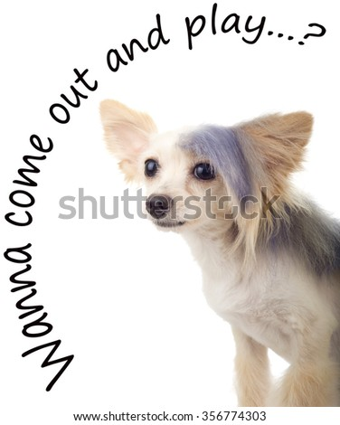 Steamed Punk Maltipoo Looking for a playmate - stock photo