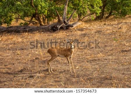 Steenbok antelope in savanna of Botswana reserve - stock photo