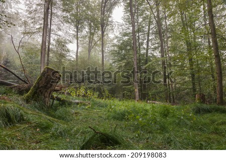 Steigerwald Forrest in Germany, famous for its  great old beech trees. The Green Heart of Franconia. Morning Fog, magical atmosphere. - stock photo