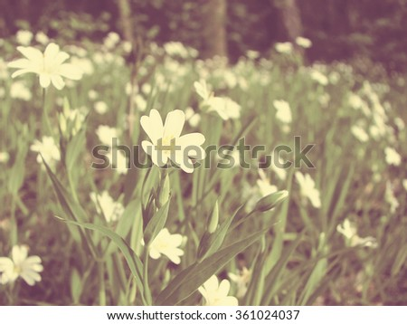 Stellaria media - white wildflowers in a forest meadow; vintage filter effect; shallow depth of field - stock photo