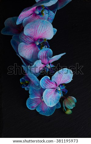 Stem of blue  orchid flowers  on  black background - stock photo